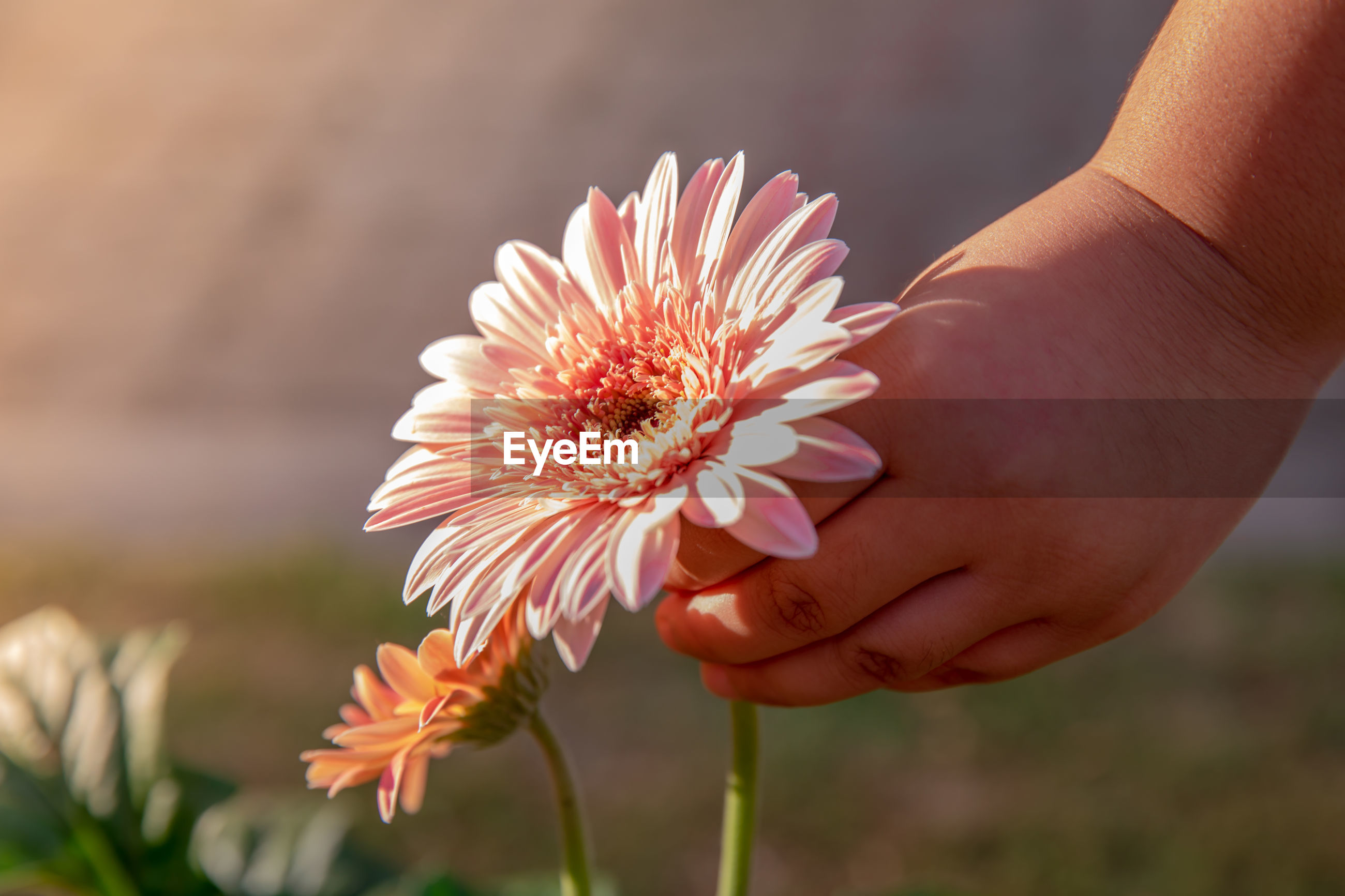 Cropped hands of person holding pink flower