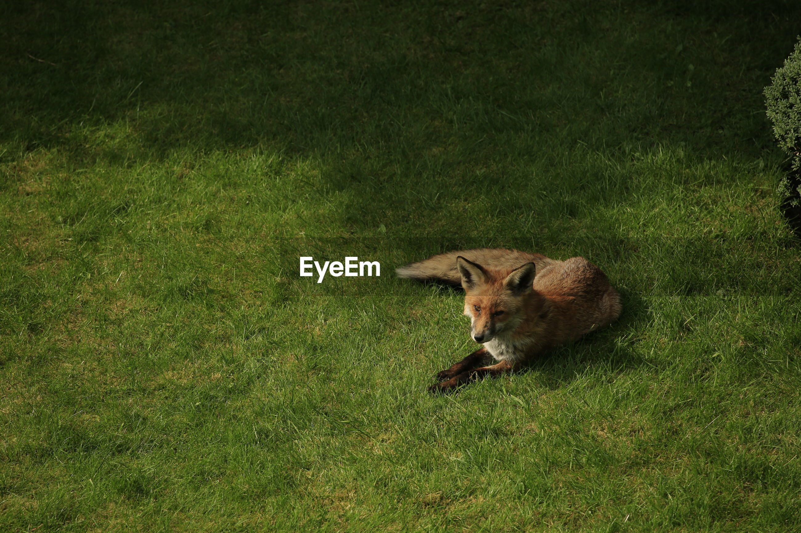 High angle view of fox in garden