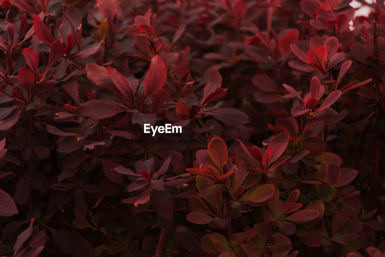 Full Frame Shot Of Red Plants