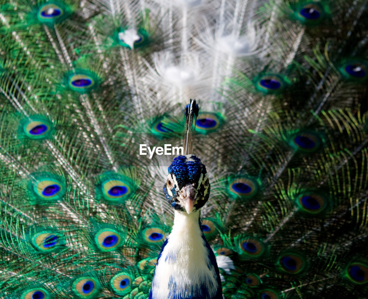 Close-up of peacock displaying tail feathers