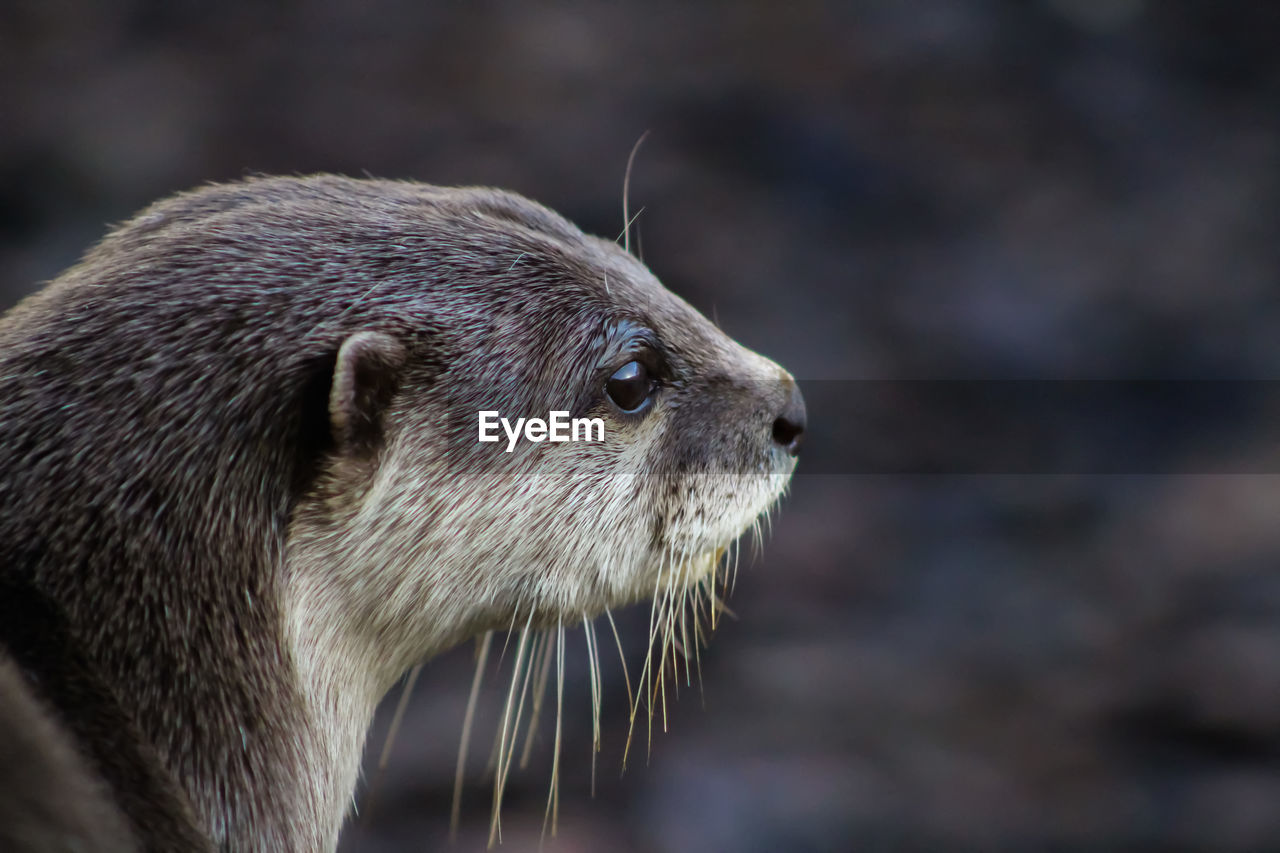 one animal, animal themes, animal, animal wildlife, mammal, close-up, focus on foreground, animals in the wild, whisker, vertebrate, no people, looking, animal body part, animal head, underwater, day, looking away, outdoors, nature, otter, profile view