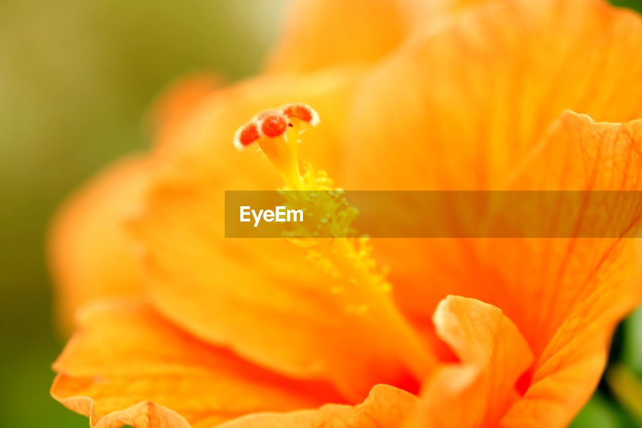 flowering plant, flower, fragility, petal, vulnerability, inflorescence, beauty in nature, plant, flower head, close-up, freshness, orange color, growth, pollen, selective focus, no people, nature, stamen, day, orange