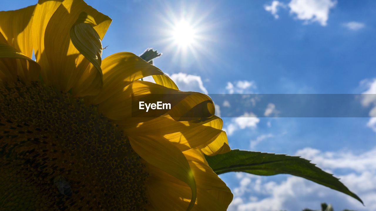 sky, flower, plant, yellow, flowering plant, nature, beauty in nature, sunlight, low angle view, freshness, petal, flower head, fragility, growth, vulnerability, inflorescence, cloud - sky, day, no people, close-up, sun, outdoors, sunflower, lens flare
