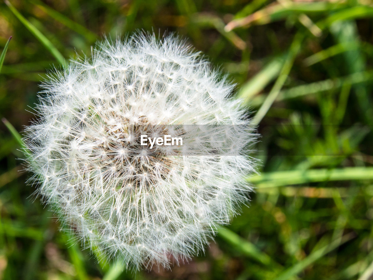 flower, nature, dandelion, growth, fragility, plant, beauty in nature, softness, close-up, flower head, delicate, freshness, uncultivated, no people, outdoors, day