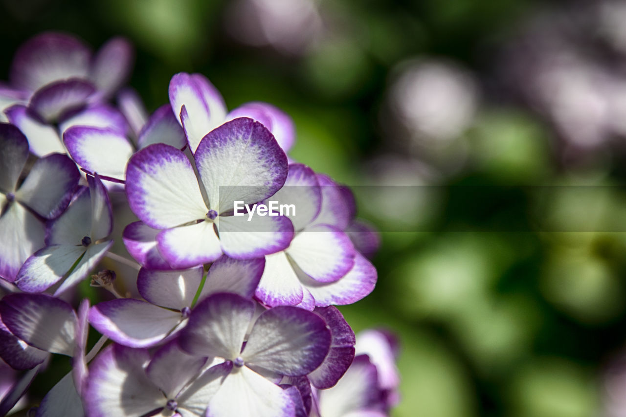 flower, petal, beauty in nature, fragility, nature, growth, flower head, purple, freshness, plant, blooming, no people, focus on foreground, close-up, day, outdoors, springtime, petunia, periwinkle