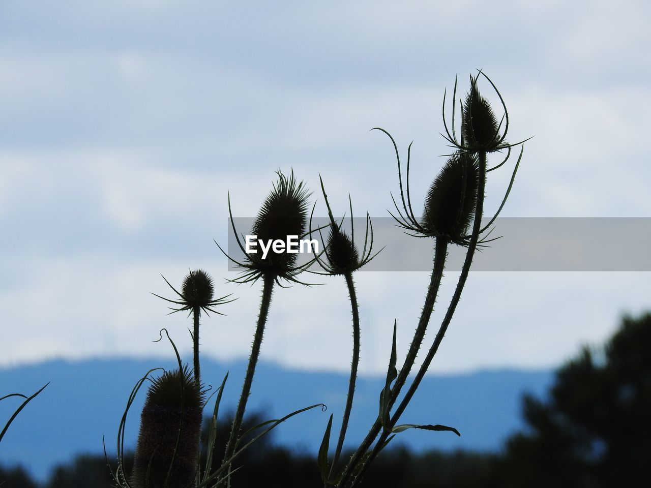 Close-Up Of Thistle Growing Against Sky