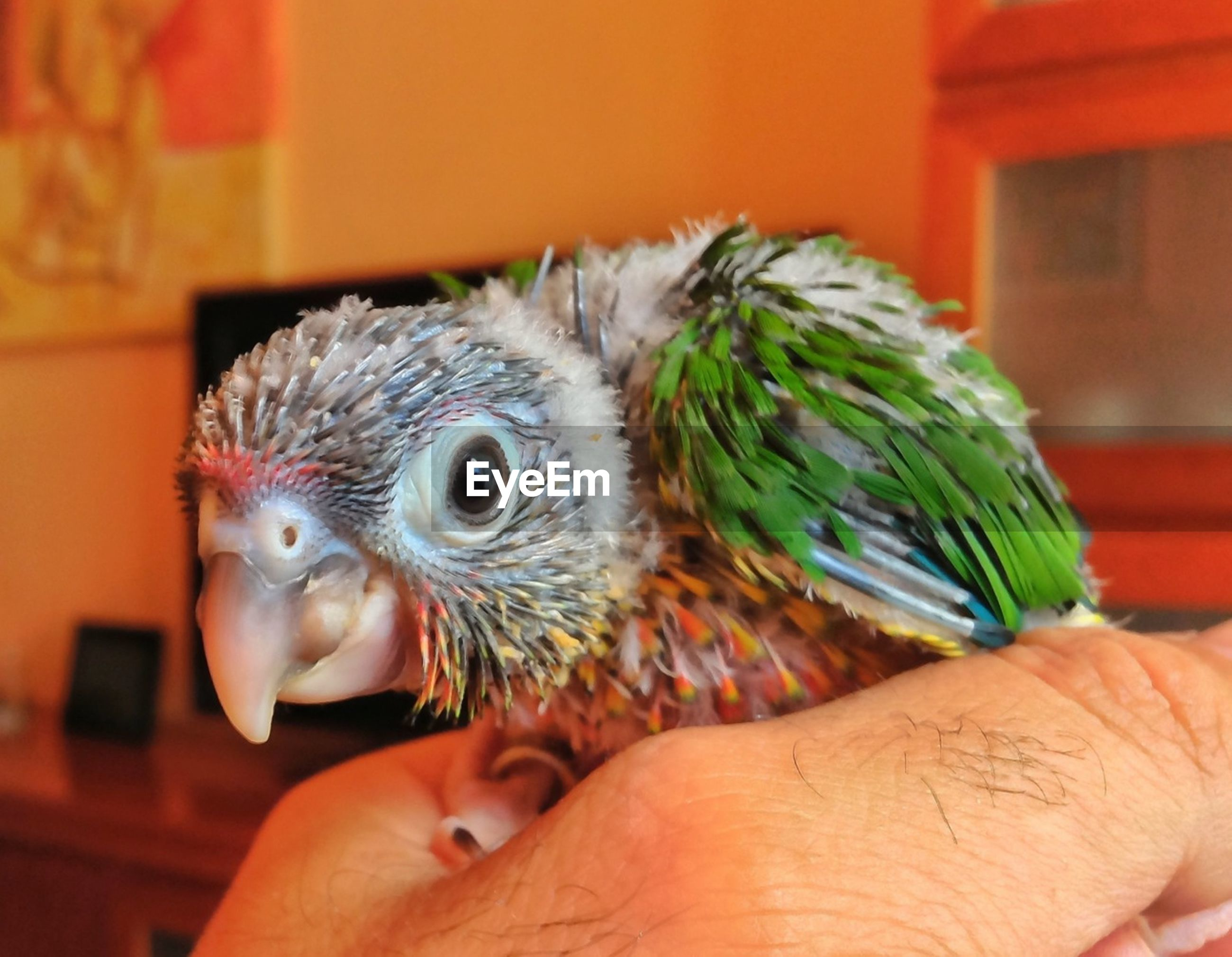 person, indoors, animal themes, one animal, focus on foreground, close-up, holding, part of, cropped, bird, unrecognizable person, lifestyles, human finger, wildlife, animals in the wild, parrot, food