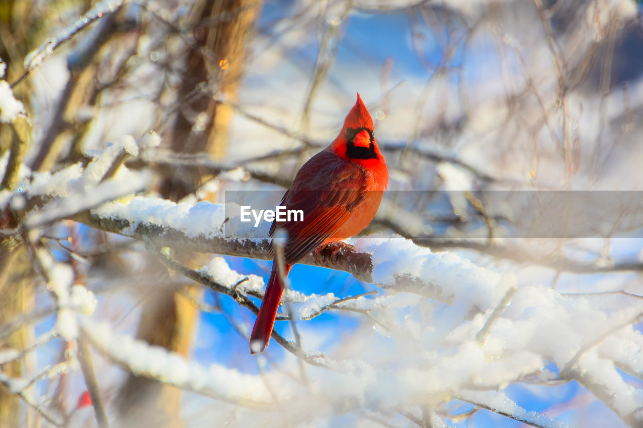 bird, cardinal - bird, vertebrate, perching, animal, branch, animal themes, tree, one animal, snow, cold temperature, winter, nature, animals in the wild, animal wildlife, red, no people, day, plant, outdoors