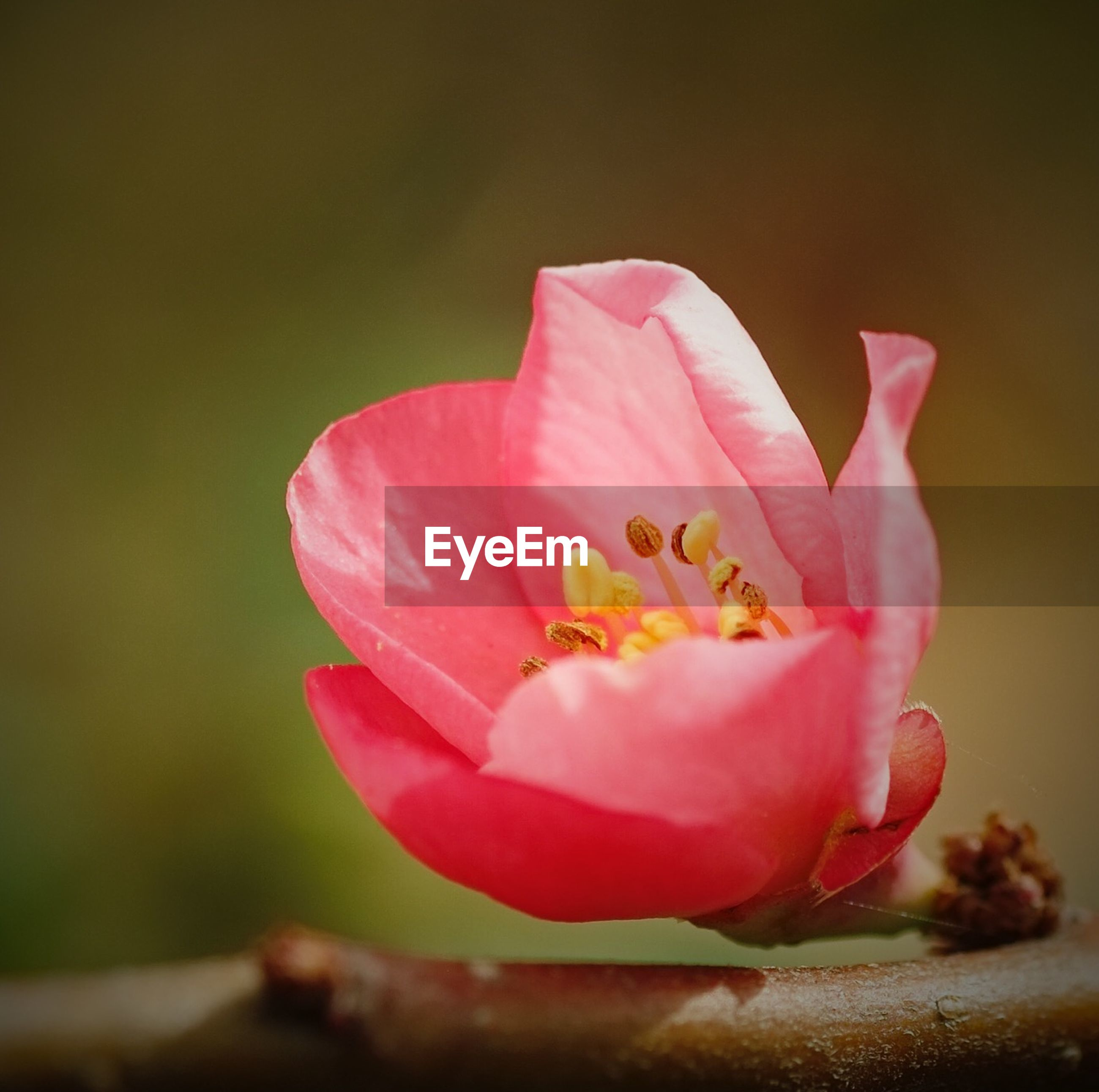 flower, petal, flower head, freshness, fragility, single flower, close-up, beauty in nature, growth, focus on foreground, pink color, nature, blooming, stamen, in bloom, pollen, blossom, selective focus, plant, botany