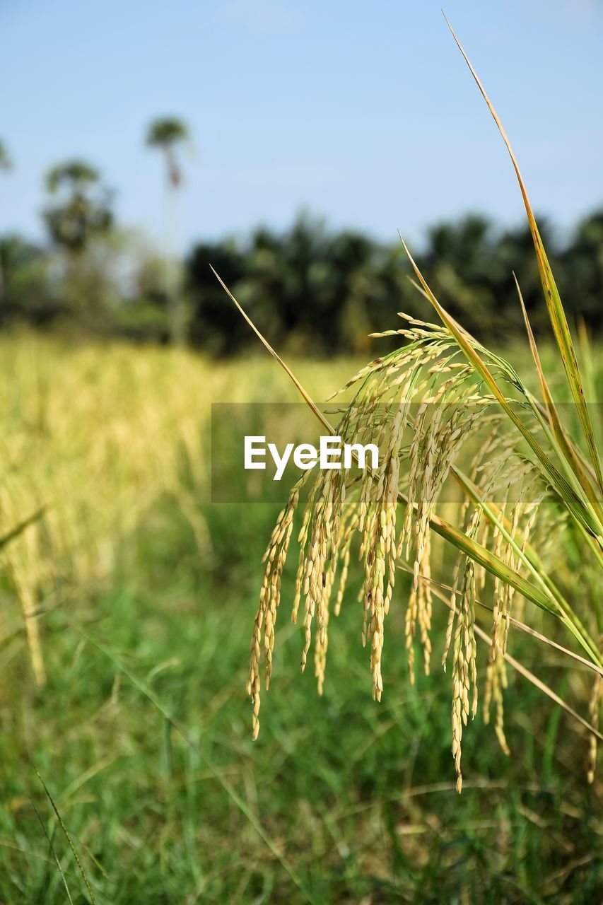 plant, growth, focus on foreground, nature, close-up, beauty in nature, crop, field, agriculture, day, landscape, land, tranquility, rural scene, sky, no people, cereal plant, green color, outdoors, farm, stalk