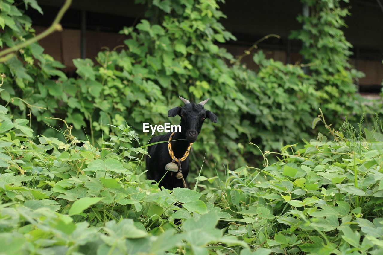 Goat Standing In Bushes