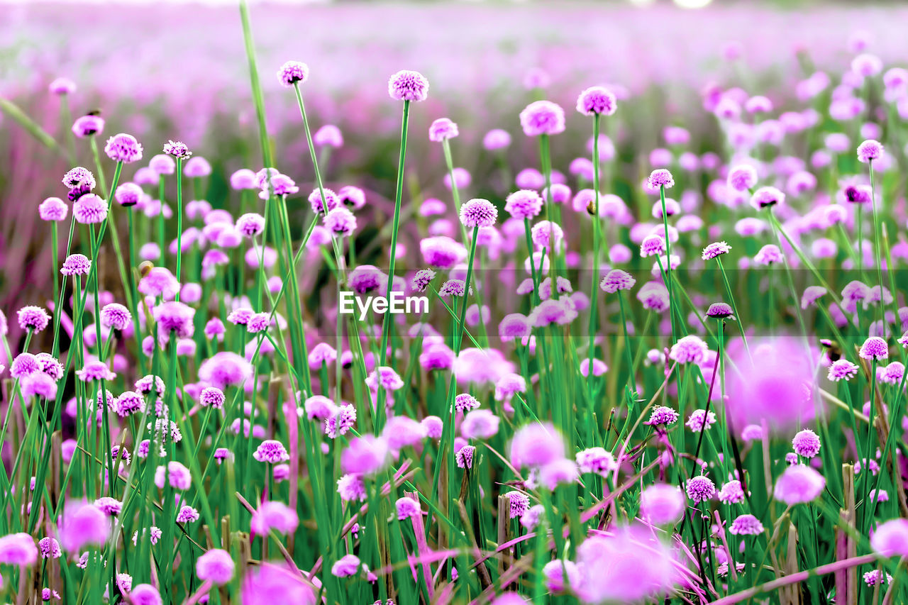 flower, plant, flowering plant, growth, freshness, beauty in nature, vulnerability, fragility, close-up, selective focus, pink color, nature, land, day, no people, field, petal, flower head, outdoors, inflorescence, purple