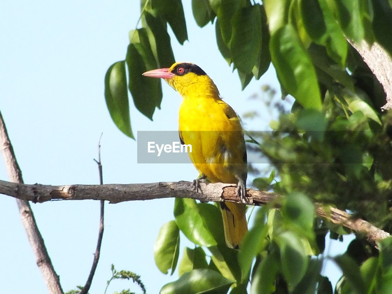 one animal, bird, animals in the wild, perching, animal themes, animal wildlife, yellow, tree, branch, no people, day, nature, beauty in nature, low angle view, outdoors, beak, close-up
