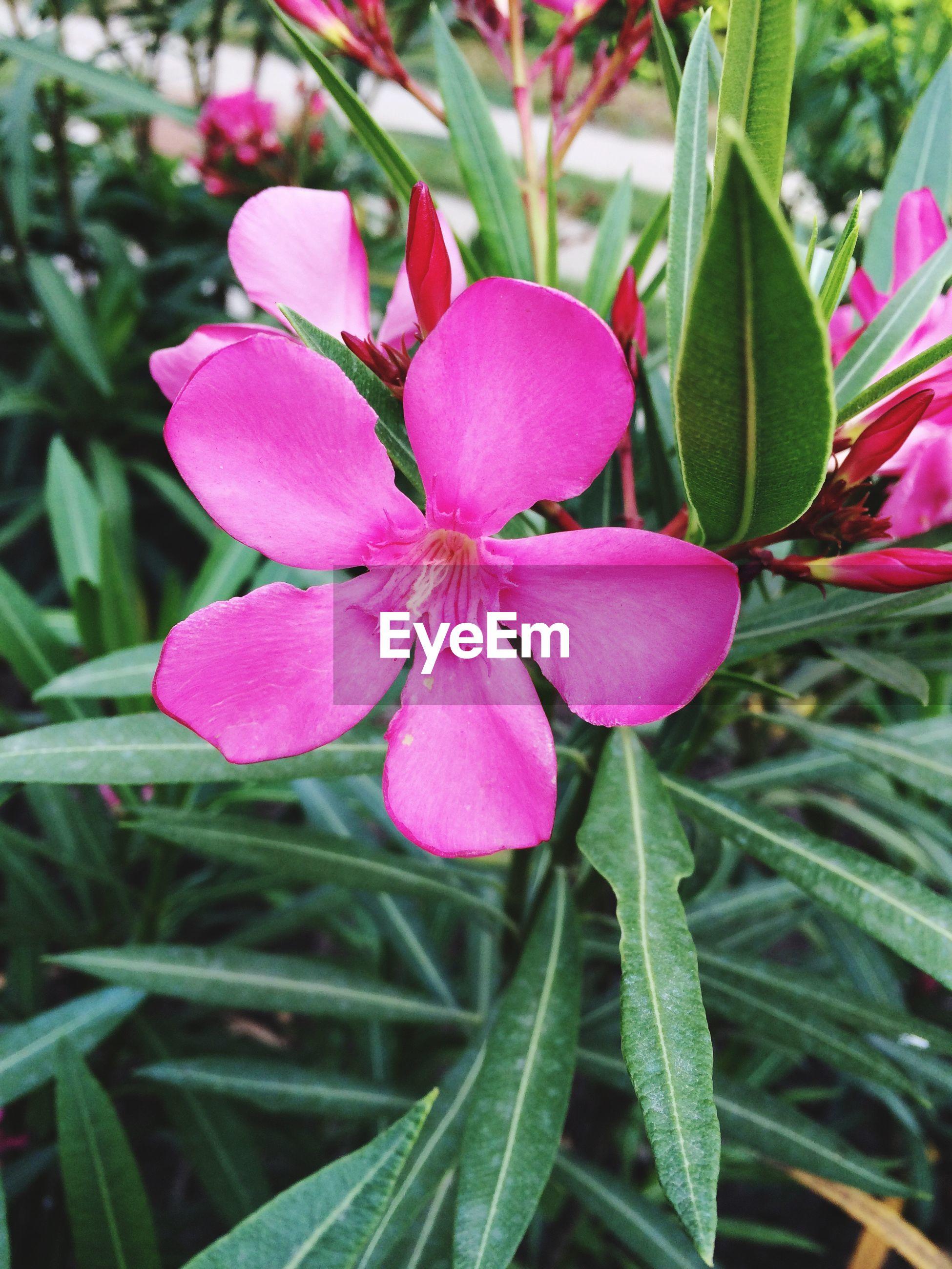 Close-up of pink oleander growing in park