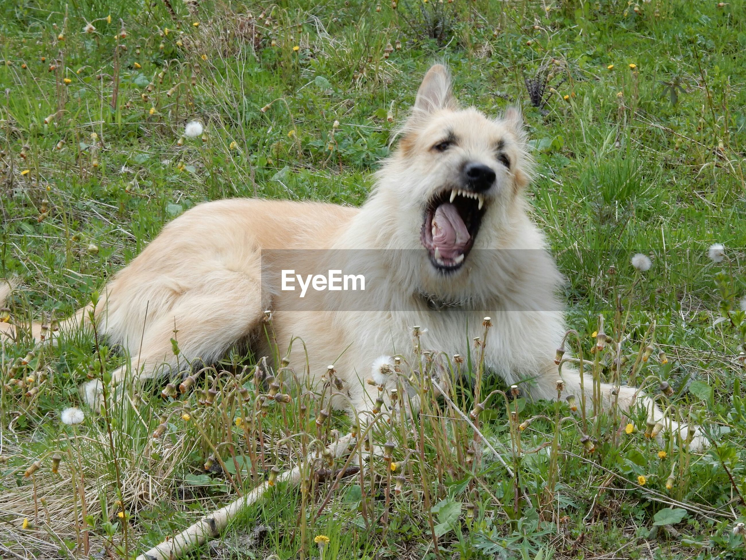 Angry dog sitting on grassy field