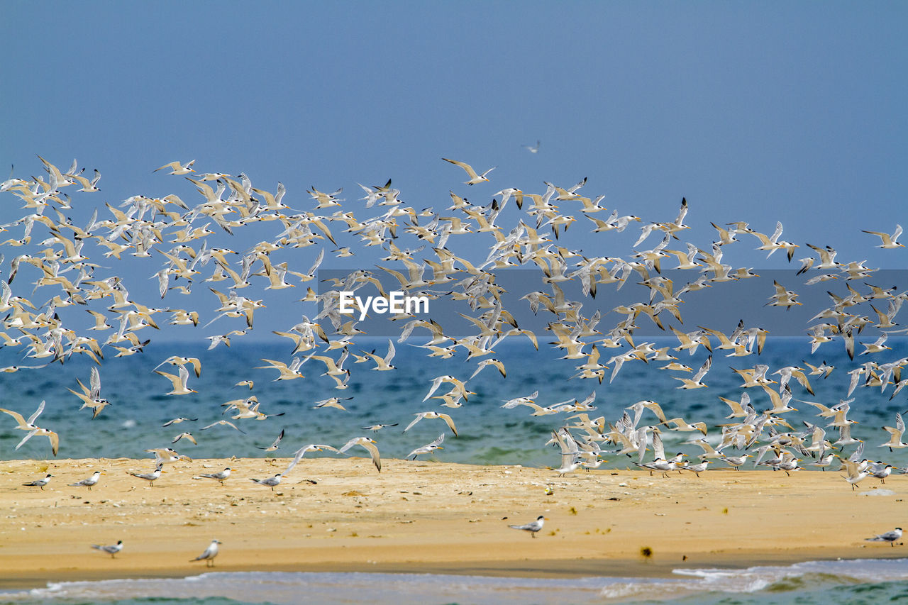 FLOCK OF SEAGULLS FLYING OVER SEA