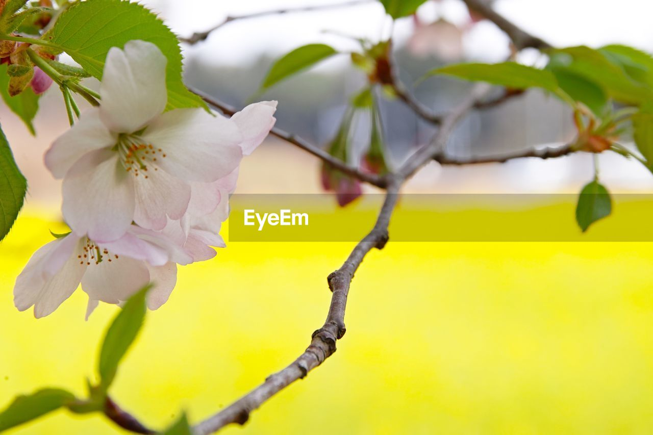plant, flower, growth, flowering plant, fragility, freshness, vulnerability, petal, branch, beauty in nature, close-up, inflorescence, tree, flower head, nature, blossom, springtime, no people, selective focus, twig, pollen, outdoors, cherry blossom, cherry tree, spring