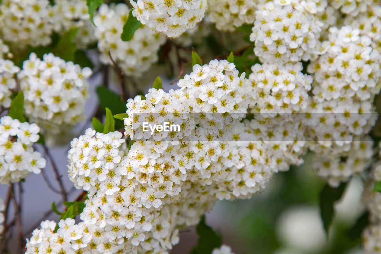 flower, flowering plant, vulnerability, fragility, beauty in nature, freshness, plant, close-up, day, growth, nature, focus on foreground, petal, flower head, inflorescence, no people, selective focus, yellow, outdoors, park - man made space, lantana, bunch of flowers
