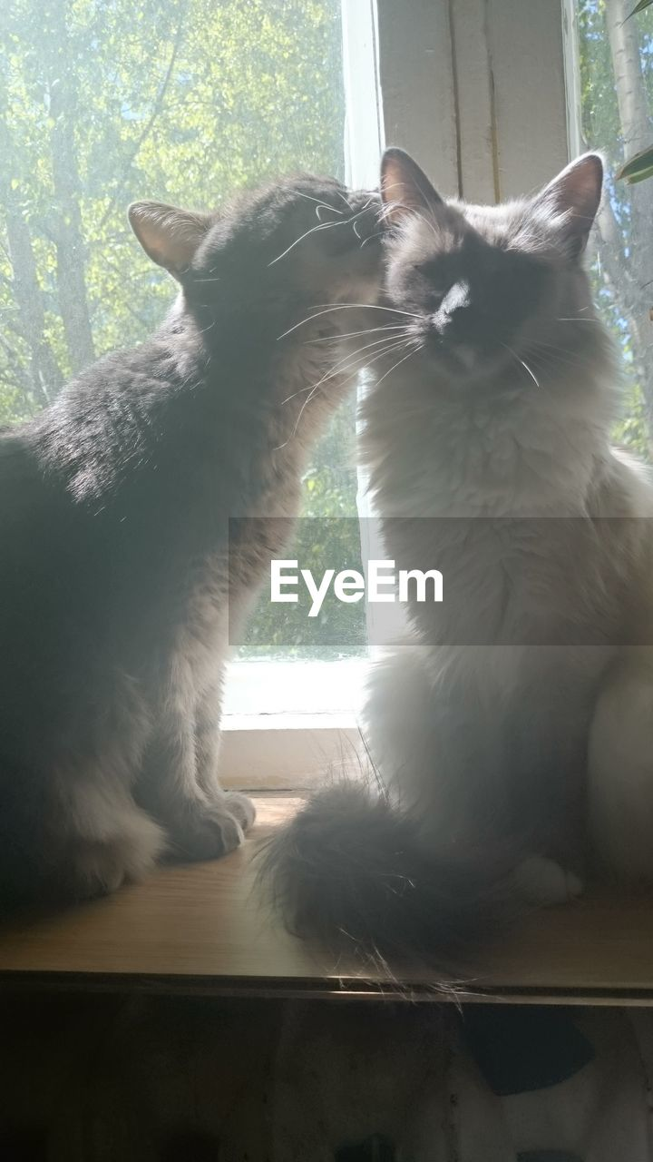 window, mammal, domestic cat, animal themes, domestic animals, pets, feline, day, sitting, indoors, window sill, no people, nature, close-up