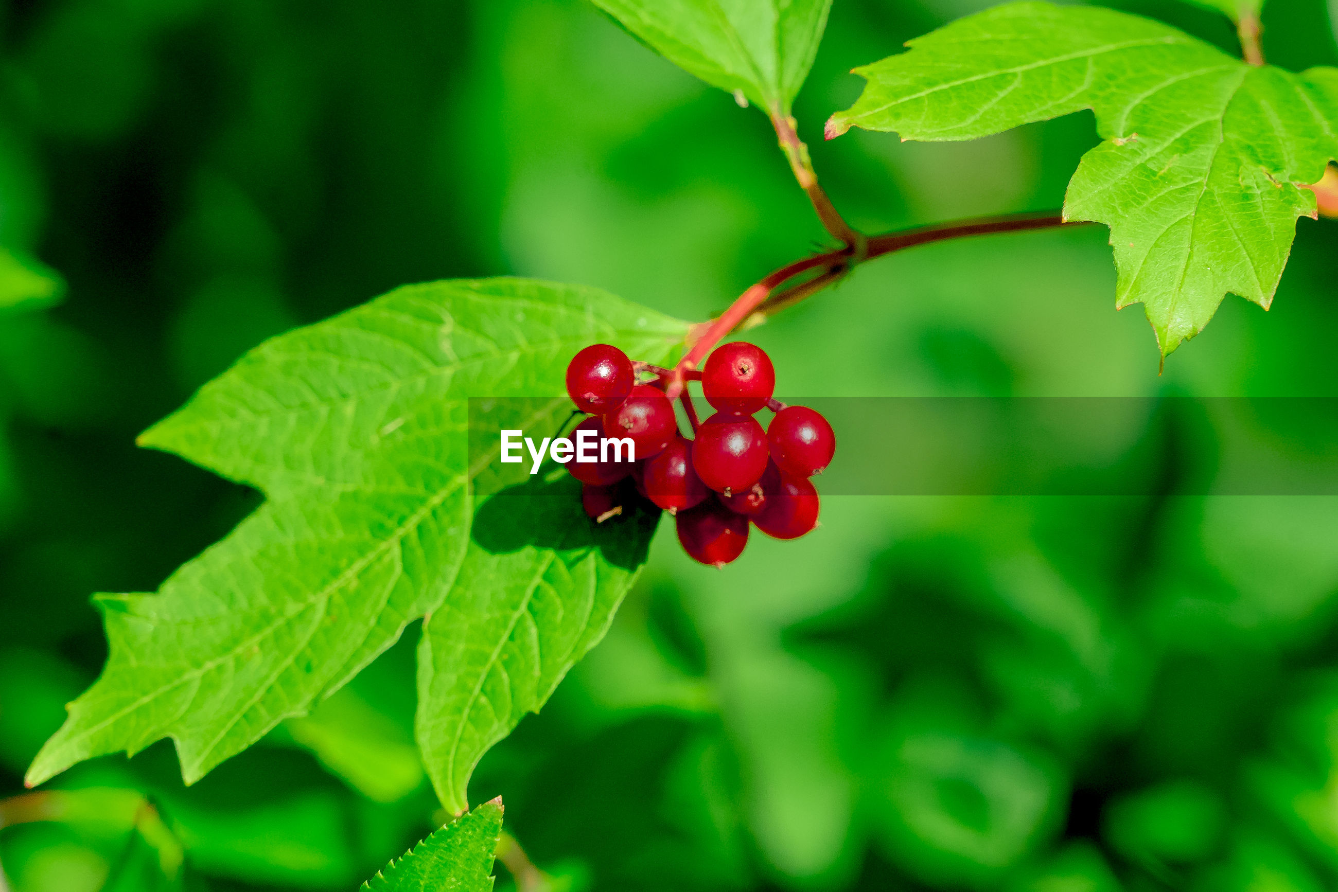 red, leaf, green color, food and drink, growth, fruit, focus on foreground, nature, close-up, no people, food, outdoors, day, freshness, plant, tree, healthy eating, beauty in nature, water