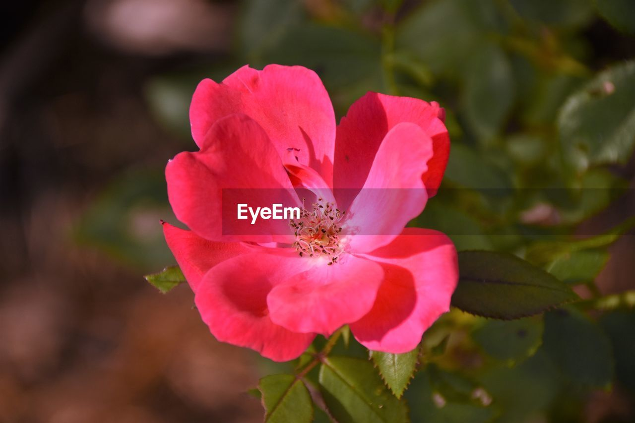 flower, petal, nature, beauty in nature, fragility, growth, one animal, flower head, pink color, plant, no people, animal themes, freshness, day, outdoors, insect, close-up, animals in the wild, blooming