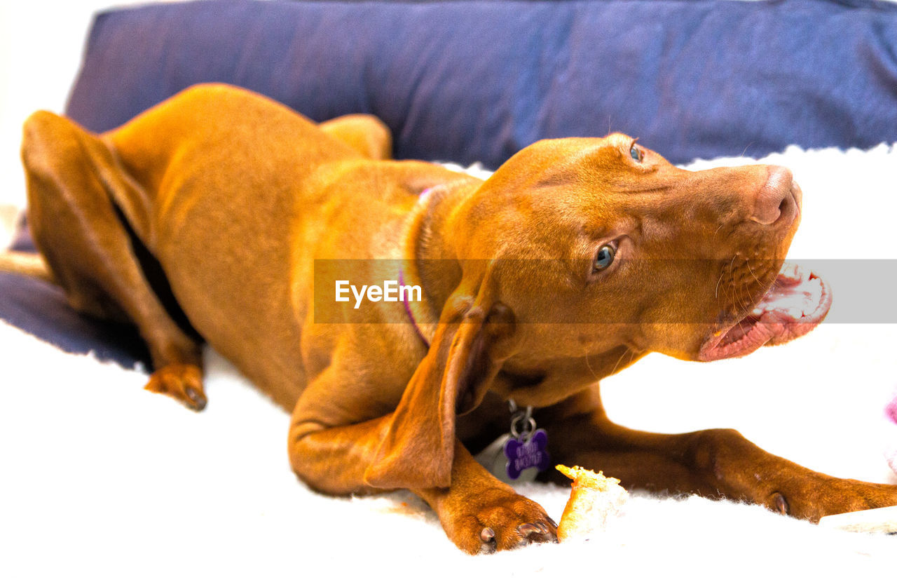 pets, domestic, dog, domestic animals, canine, animal themes, animal, mammal, one animal, vertebrate, no people, brown, close-up, indoors, relaxation, focus on foreground, carnivora, looking, day, looking away, mouth open, animal head