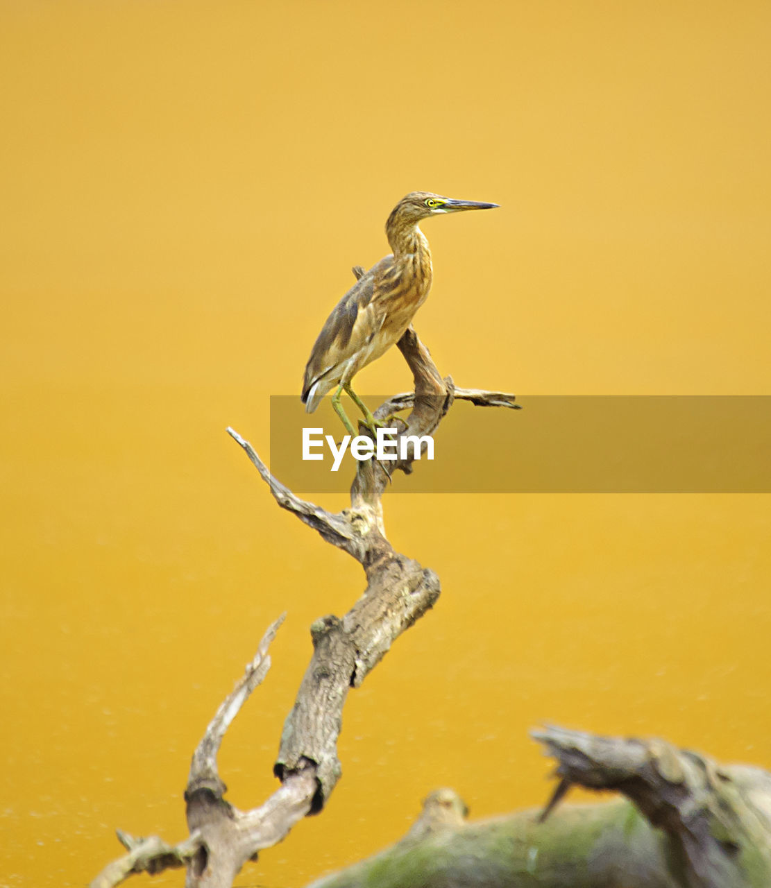 High Angle View Of Heron Perching On Bare Tree Branch Against Yellow Lake