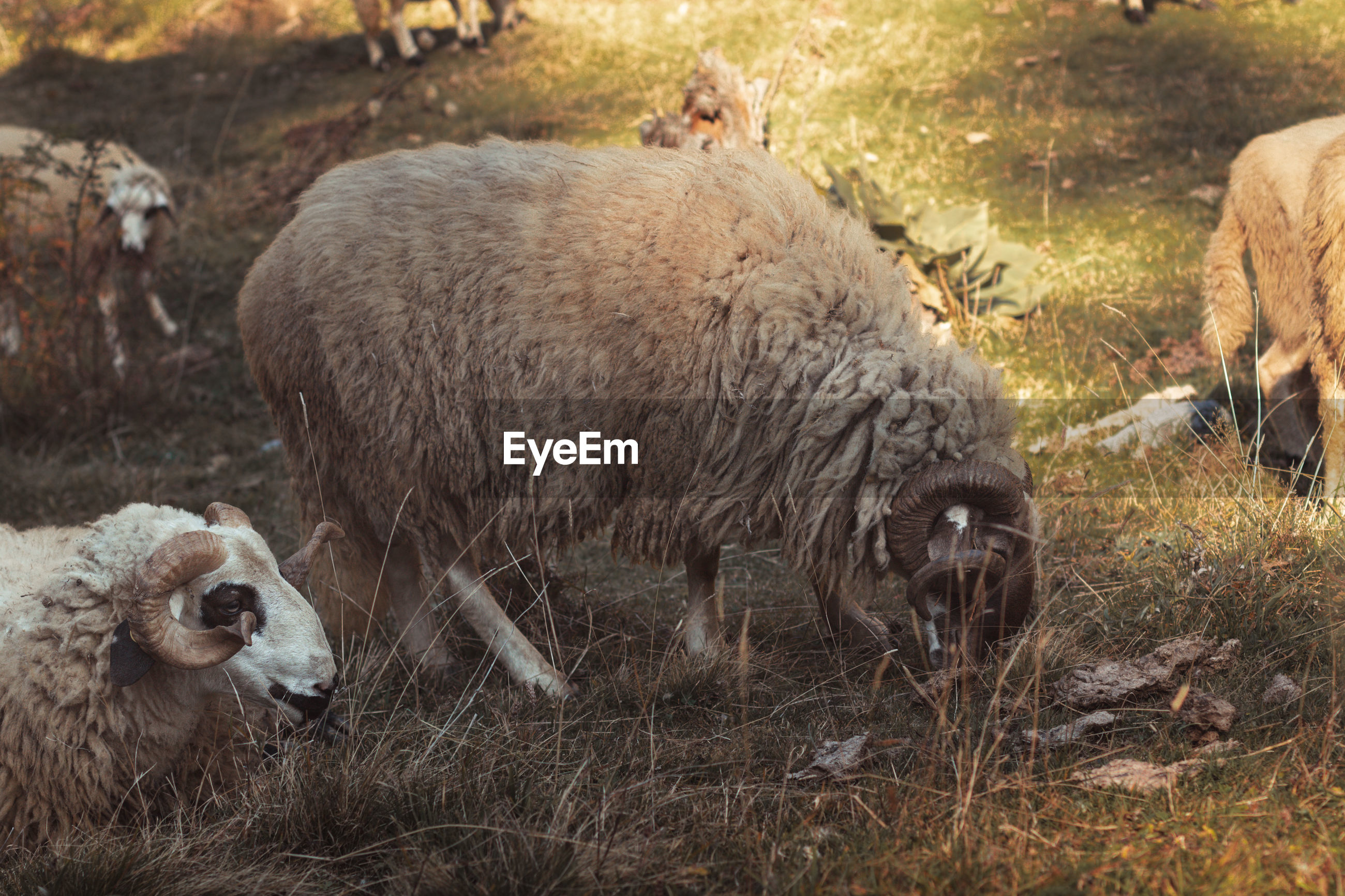 SHEEP IN A ANIMAL