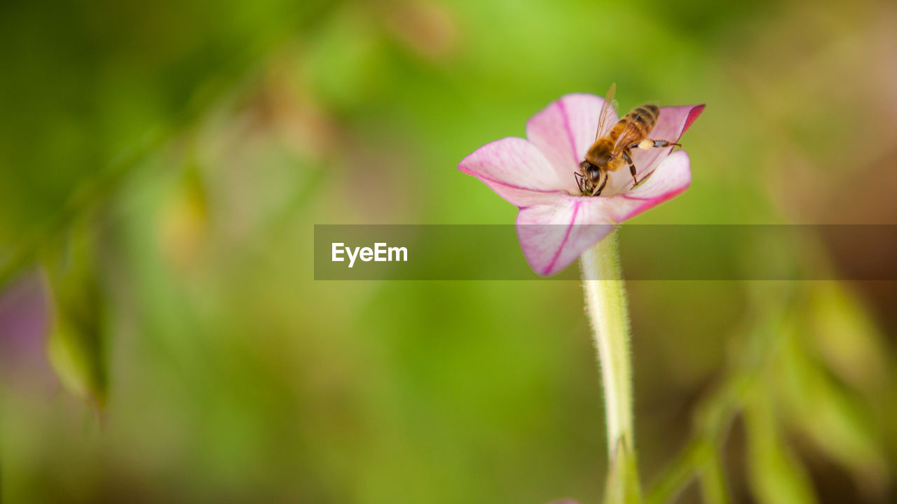 flower, flowering plant, beauty in nature, plant, fragility, vulnerability, growth, invertebrate, insect, freshness, animal, petal, one animal, animal themes, animal wildlife, close-up, animals in the wild, pink color, green color, flower head, no people, pollination, pollen