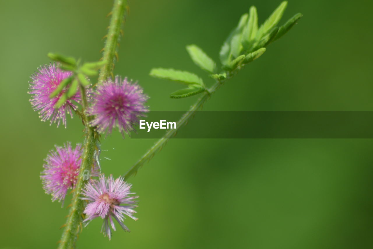 flower, plant, flowering plant, vulnerability, fragility, growth, freshness, beauty in nature, close-up, inflorescence, nature, flower head, green color, petal, day, no people, focus on foreground, plant part, outdoors, leaf, purple