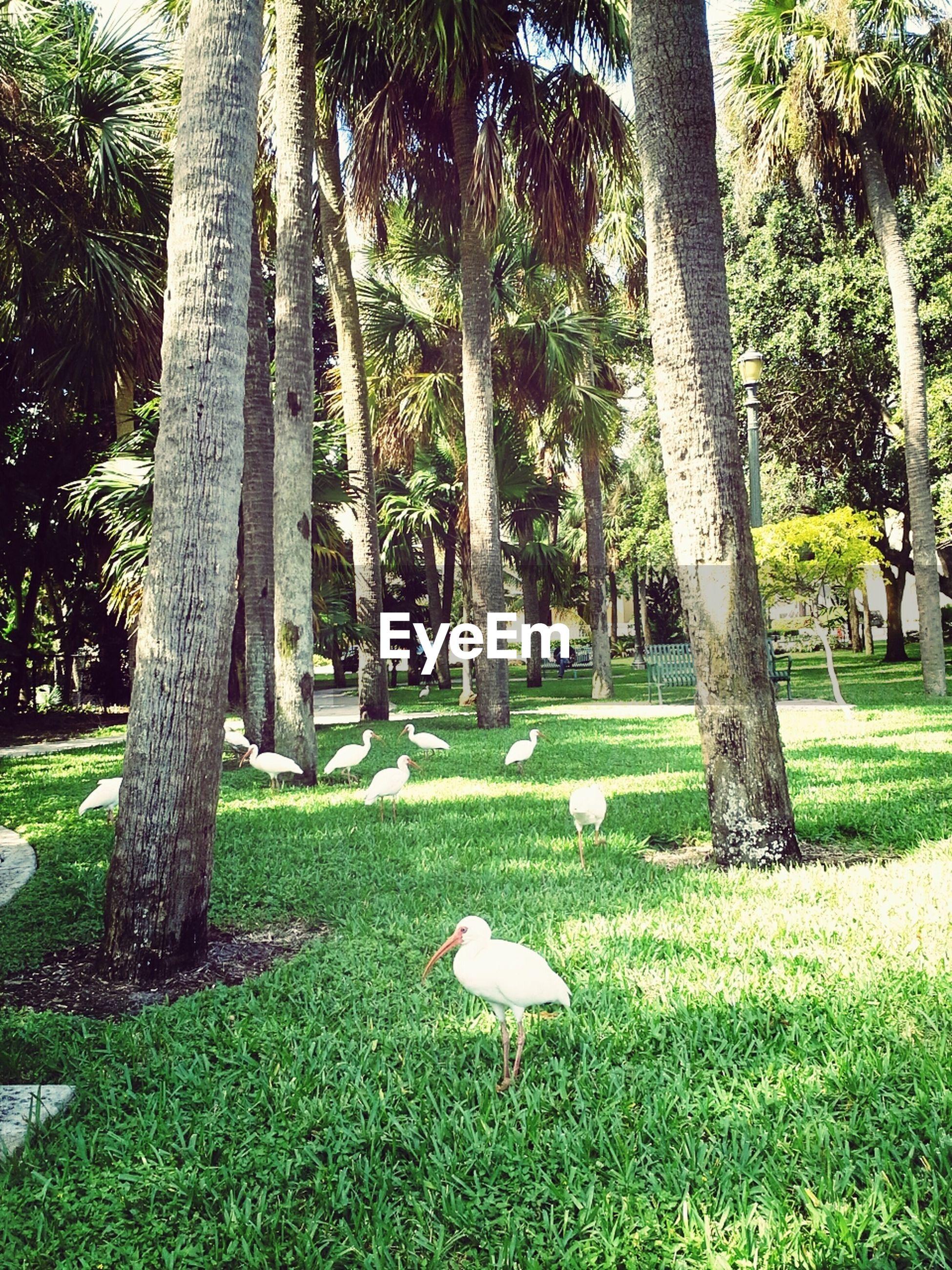 Birds walking among palm trees