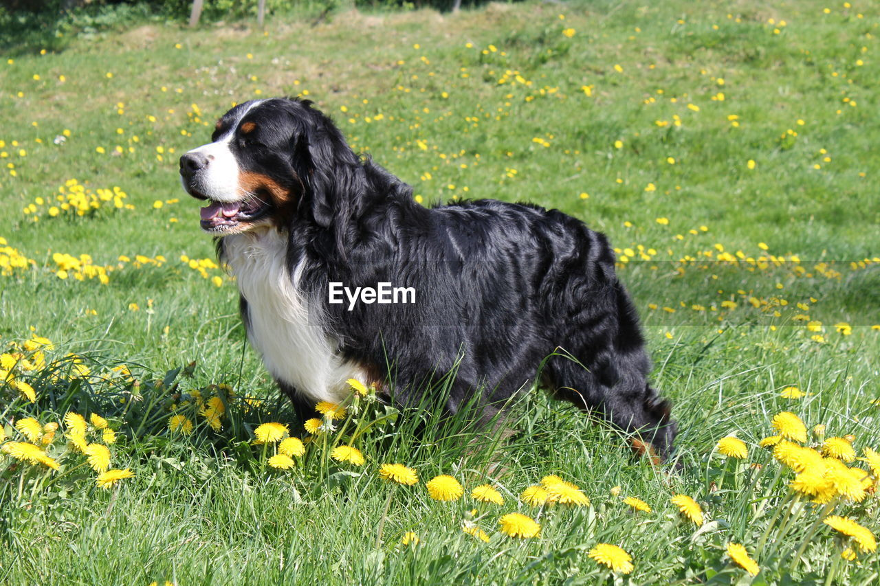 one animal, canine, dog, pets, domestic, mammal, animal, animal themes, domestic animals, plant, growth, flowering plant, flower, yellow, nature, vertebrate, looking away, field, grass, looking, no people, outdoors