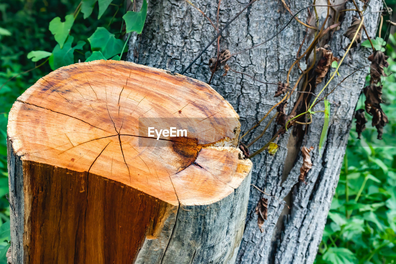 tree, tree trunk, trunk, plant, close-up, wood - material, day, nature, focus on foreground, no people, leaf, bark, forest, plant part, outdoors, land, textured, wood, growth, brown, tree ring