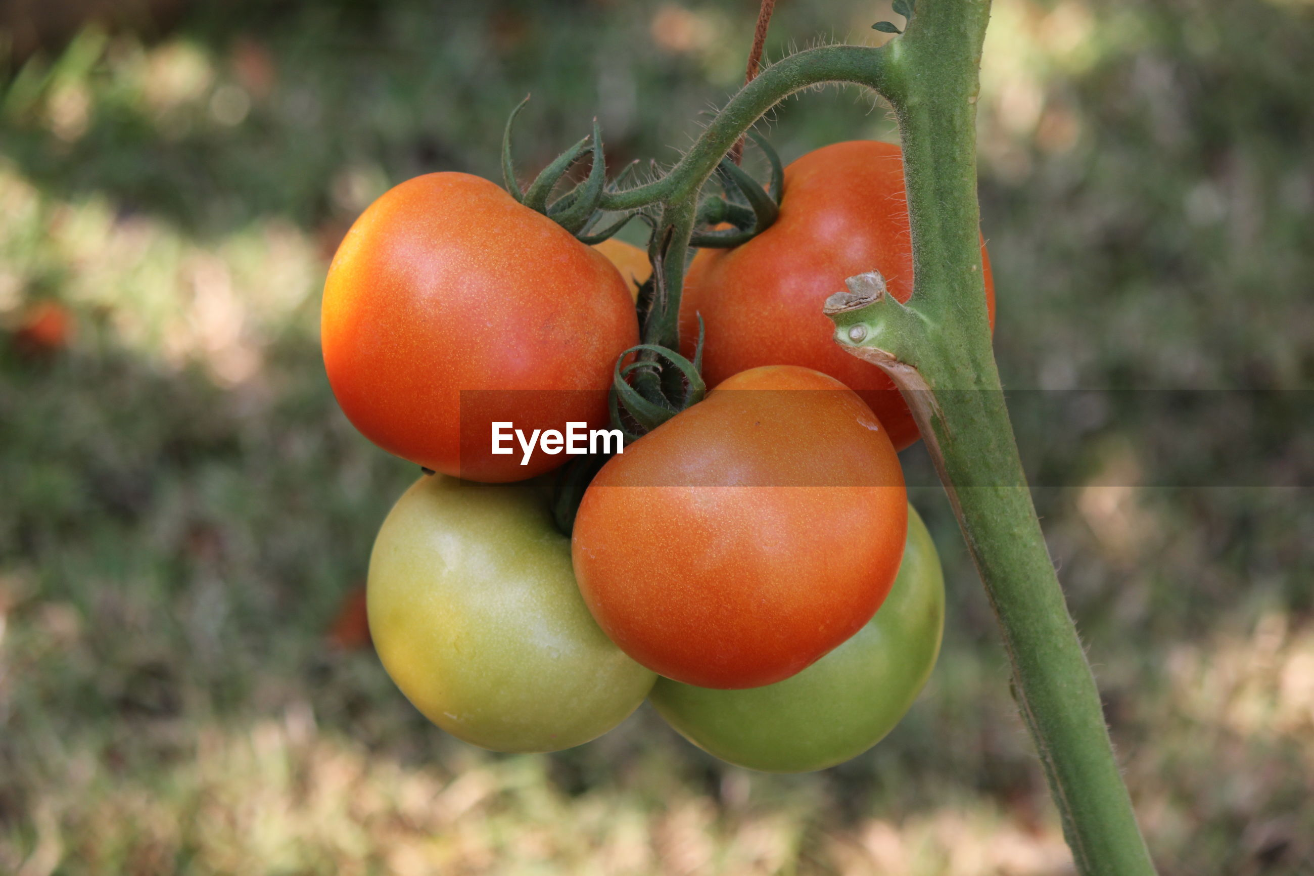 Close-up of tomatoes growing on plant