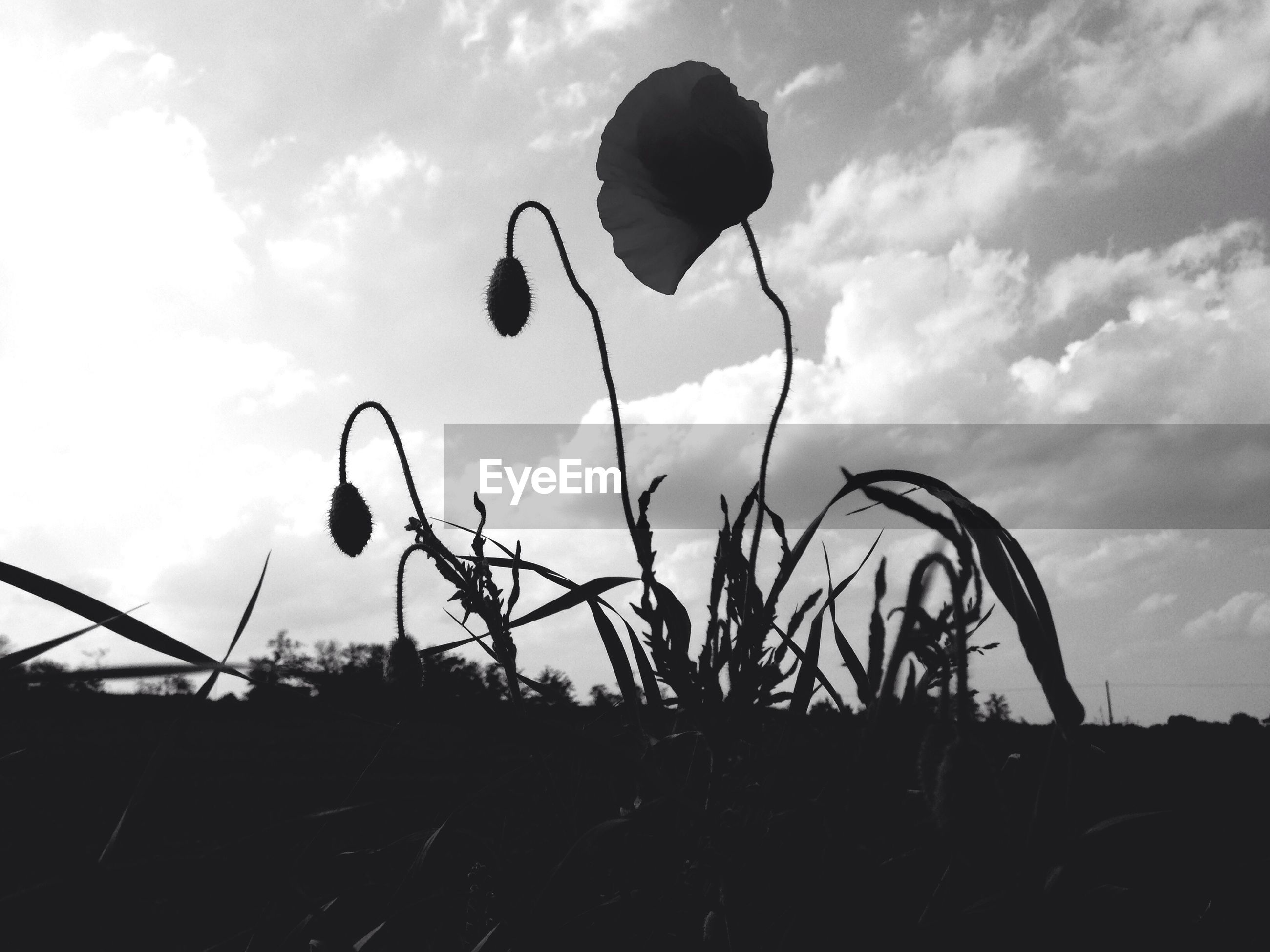SILHOUETTE OF PLANTS AGAINST SKY