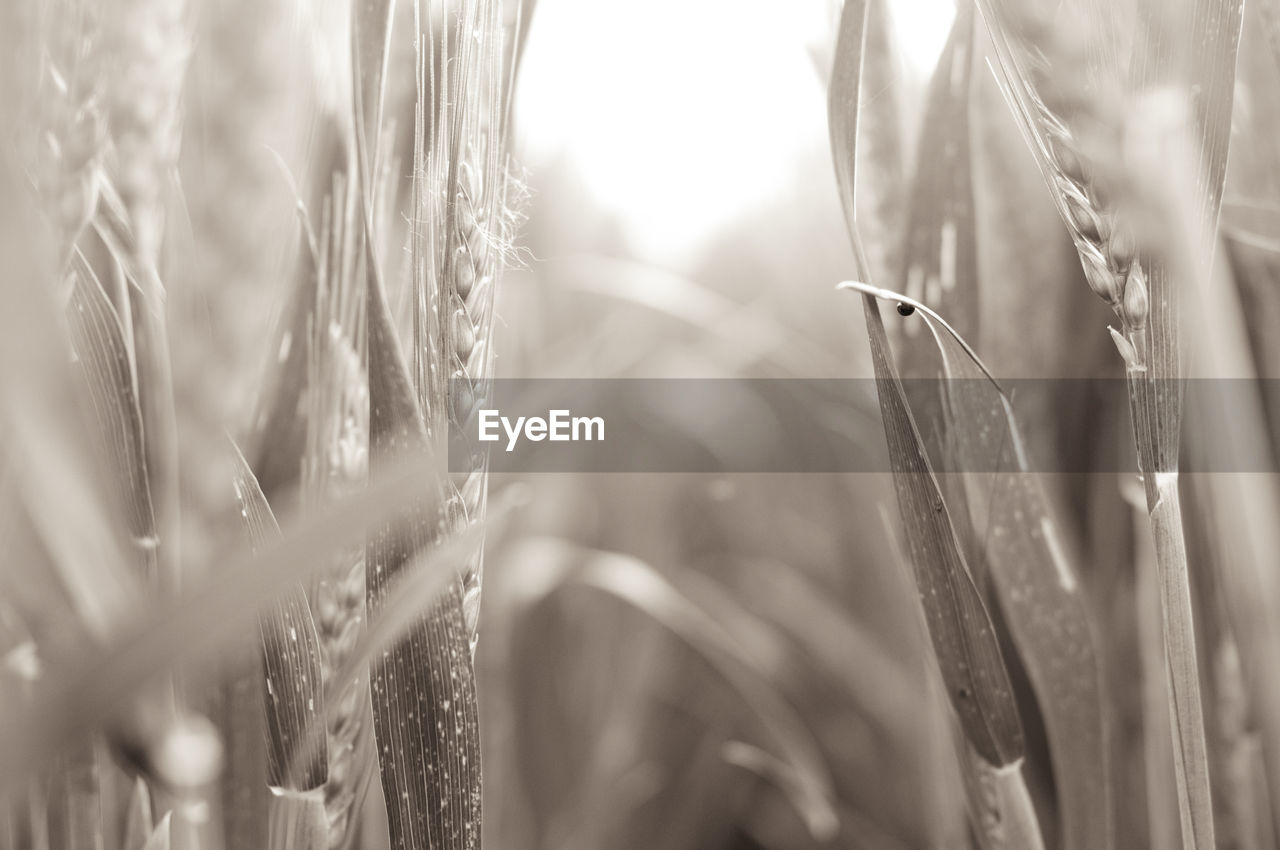 plant, growth, selective focus, agriculture, close-up, nature, field, crop, grass, day, cereal plant, no people, tranquility, land, beauty in nature, wheat, farm, focus on foreground, outdoors, sunlight, blade of grass, stalk