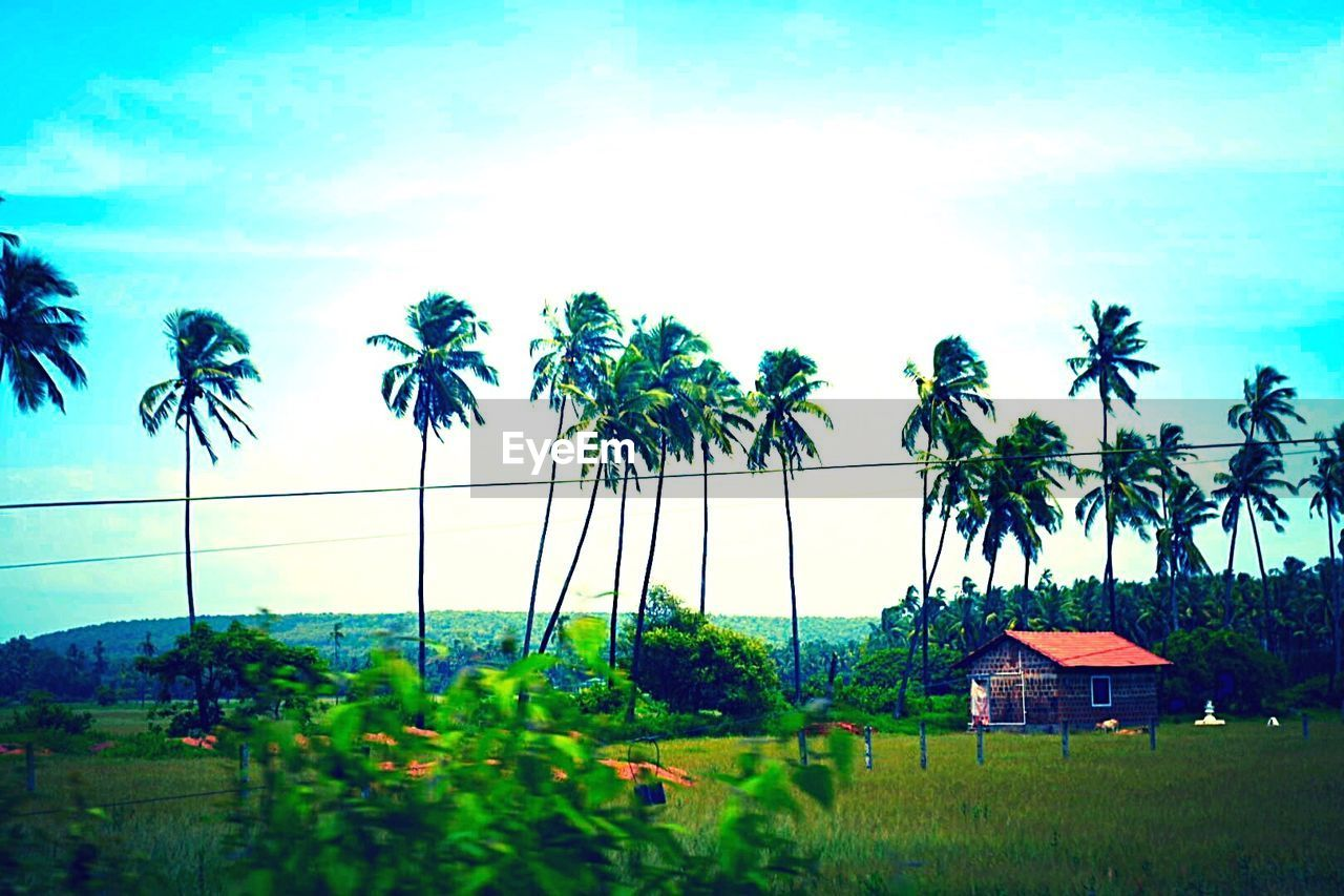 palm tree, tree, sky, nature, growth, beauty in nature, tropical climate, no people, outdoors, tranquility, rice paddy, tranquil scene, scenics, day, grass, banana tree, landscape, vacations, built structure