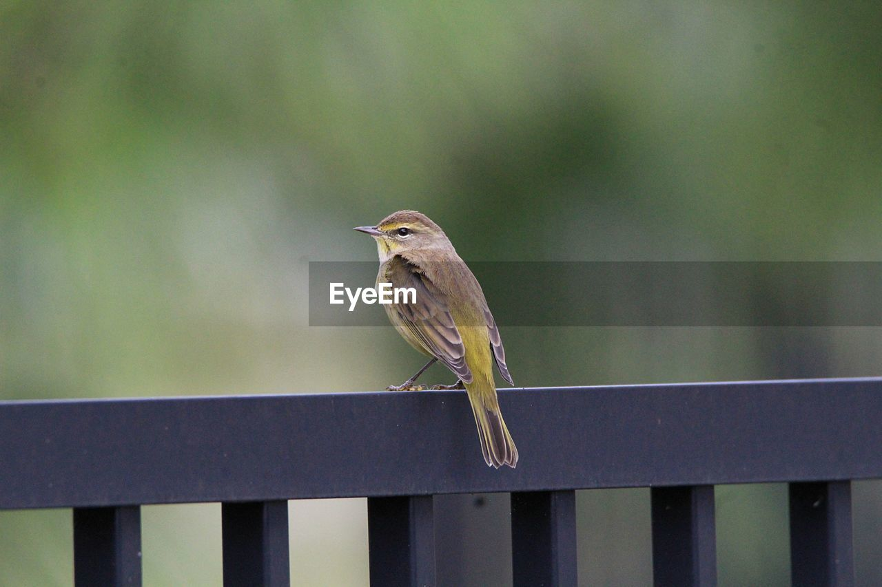 animal wildlife, one animal, animal themes, animal, vertebrate, animals in the wild, bird, perching, railing, focus on foreground, boundary, fence, no people, barrier, day, close-up, outdoors, wood - material, nature, full length