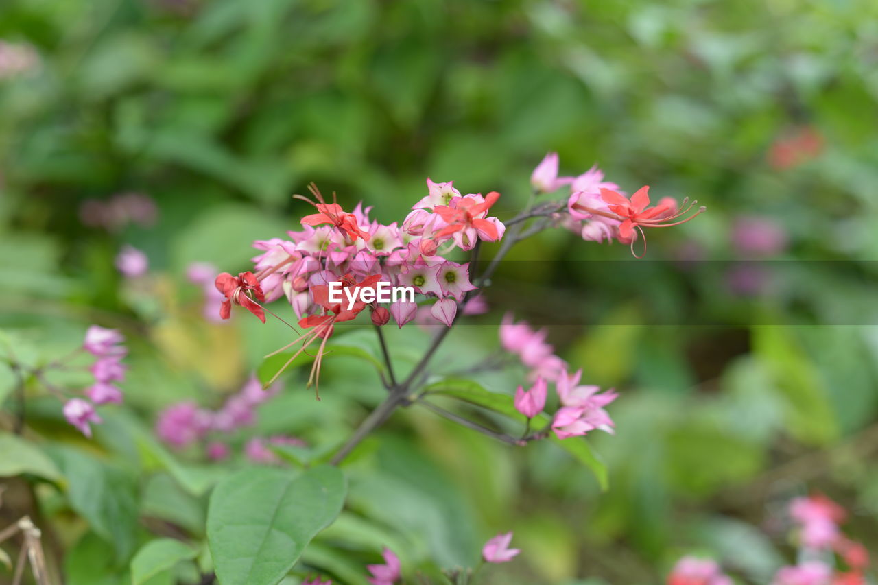 flowering plant, flower, plant, growth, vulnerability, fragility, beauty in nature, freshness, pink color, petal, close-up, flower head, inflorescence, focus on foreground, day, nature, plant part, no people, leaf, park, outdoors