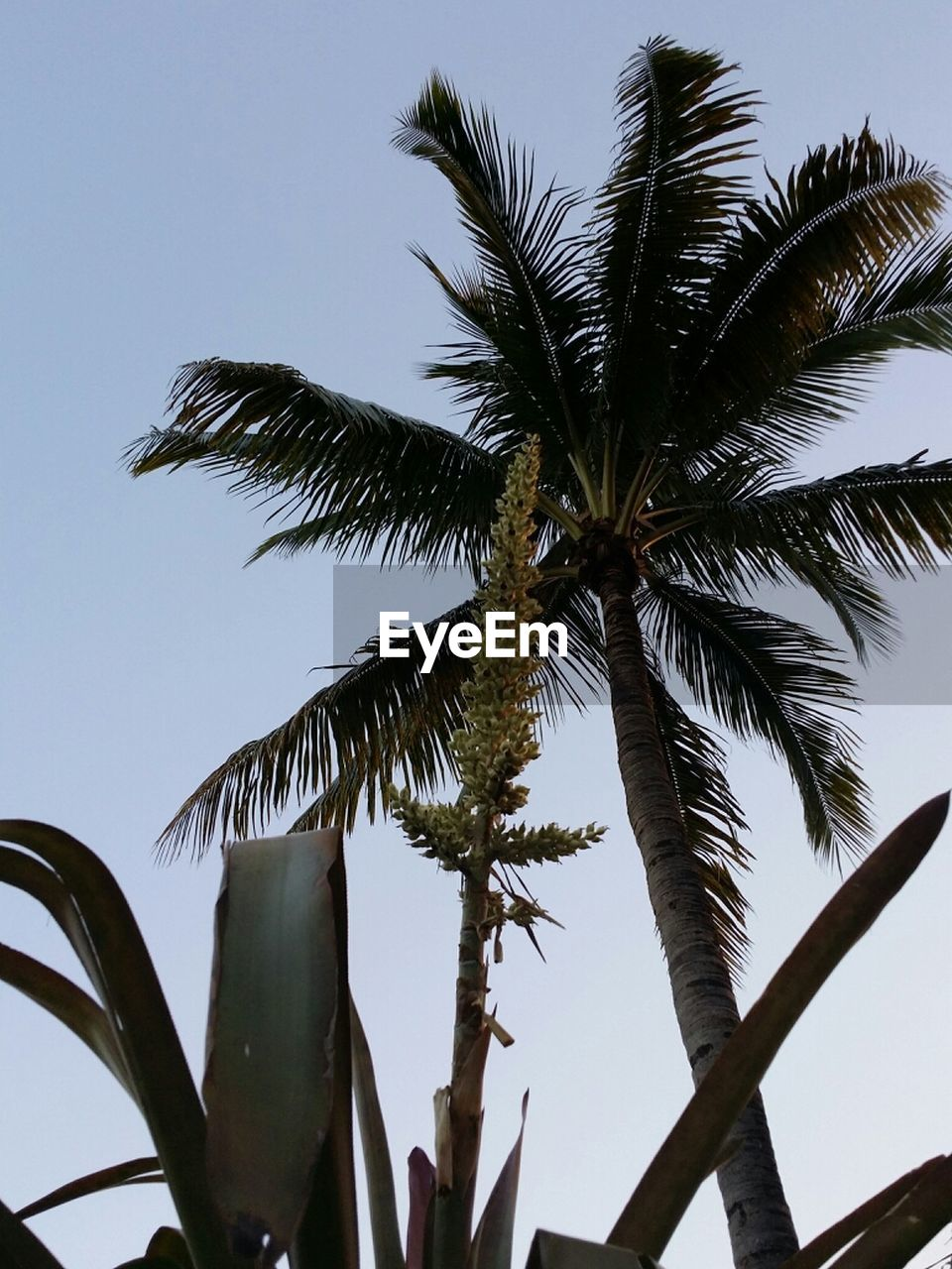 palm tree, tree, low angle view, growth, beauty in nature, nature, clear sky, sky, no people, outdoors, day, close-up, freshness