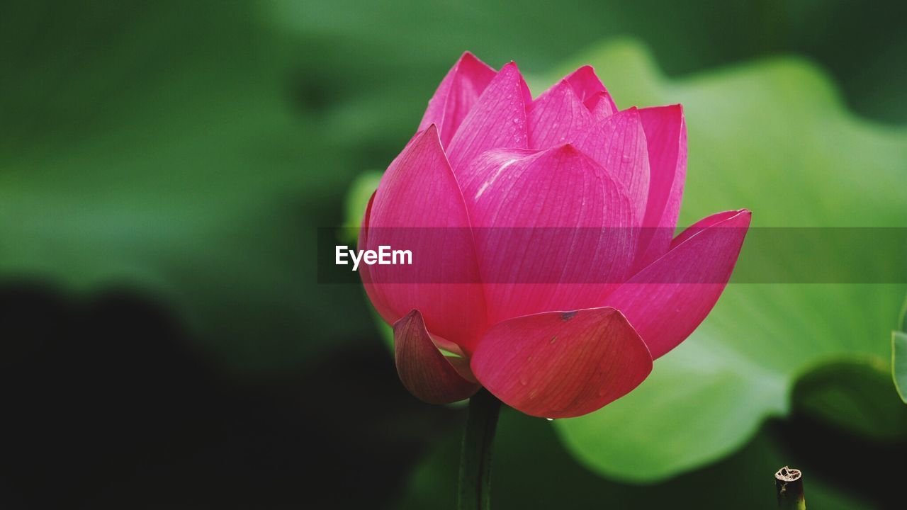 flower, petal, beauty in nature, nature, fragility, growth, freshness, flower head, pink color, close-up, no people, lotus, blooming, day, plant, lotus water lily, outdoors, water