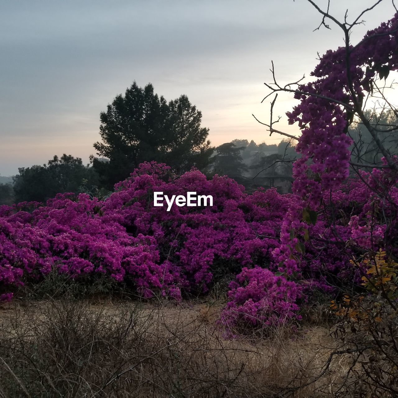 plant, tree, flower, beauty in nature, flowering plant, pink color, sky, nature, growth, no people, cloud - sky, tranquility, freshness, fragility, outdoors, vulnerability, land, day, sunset, branch, purple, flower arrangement