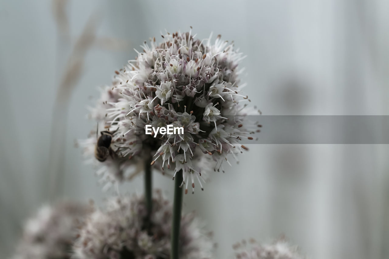 flower, flowering plant, plant, freshness, beauty in nature, fragility, vulnerability, close-up, growth, focus on foreground, flower head, nature, inflorescence, no people, day, white color, selective focus, petal, outdoors, tranquility, softness, wilted plant