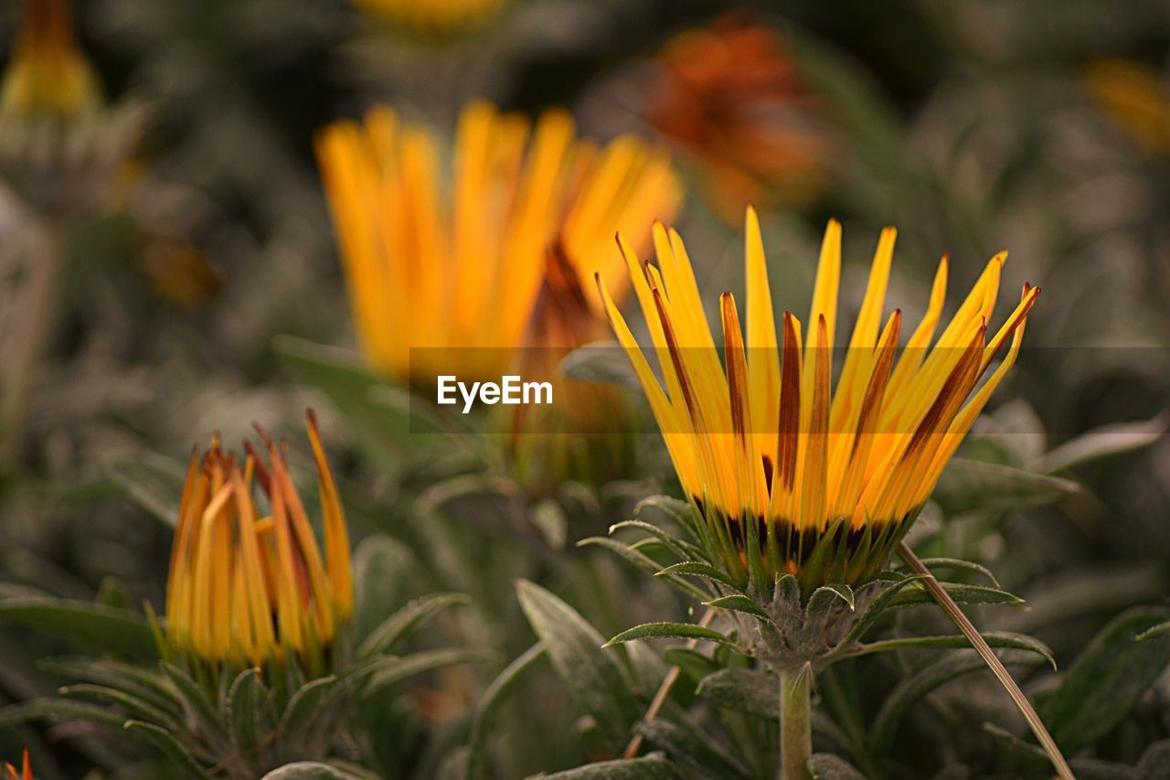 flower, petal, growth, beauty in nature, fragility, freshness, yellow, flower head, nature, blooming, plant, gazania, pollen, outdoors, day, field, no people, close-up, crocus