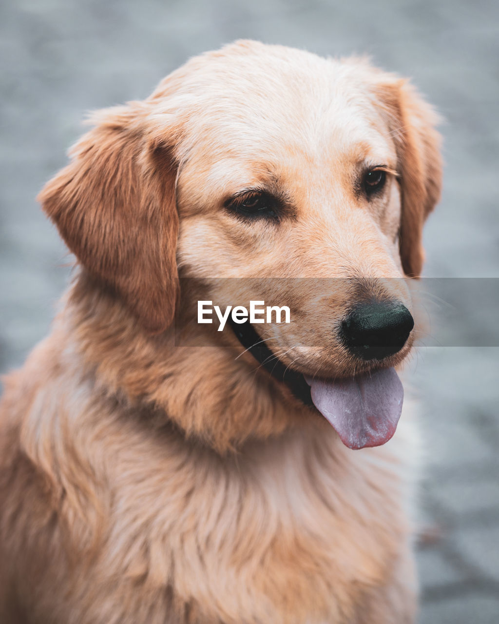 dog, canine, one animal, animal themes, mammal, animal, pets, domestic, vertebrate, domestic animals, focus on foreground, brown, close-up, looking, looking away, no people, retriever, day, animal body part, animal head, mouth open, snout