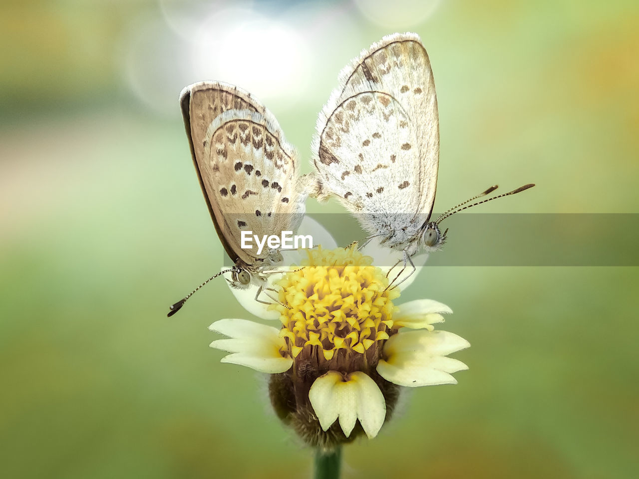 flower, flowering plant, plant, fragility, beauty in nature, vulnerability, insect, close-up, invertebrate, freshness, flower head, petal, animals in the wild, focus on foreground, animal themes, animal wildlife, animal, inflorescence, nature, animal wing, pollination, no people, butterfly - insect, pollen, outdoors, butterfly
