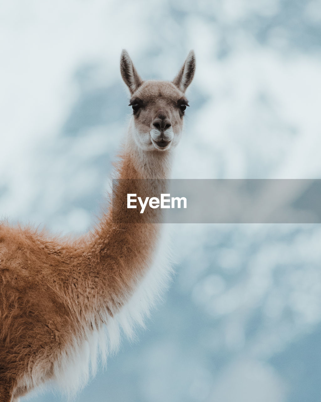 animal themes, animal, one animal, mammal, animals in the wild, animal wildlife, vertebrate, nature, portrait, no people, domestic animals, brown, looking at camera, llama, focus on foreground, day, livestock, standing, herbivorous, outdoors, animal head