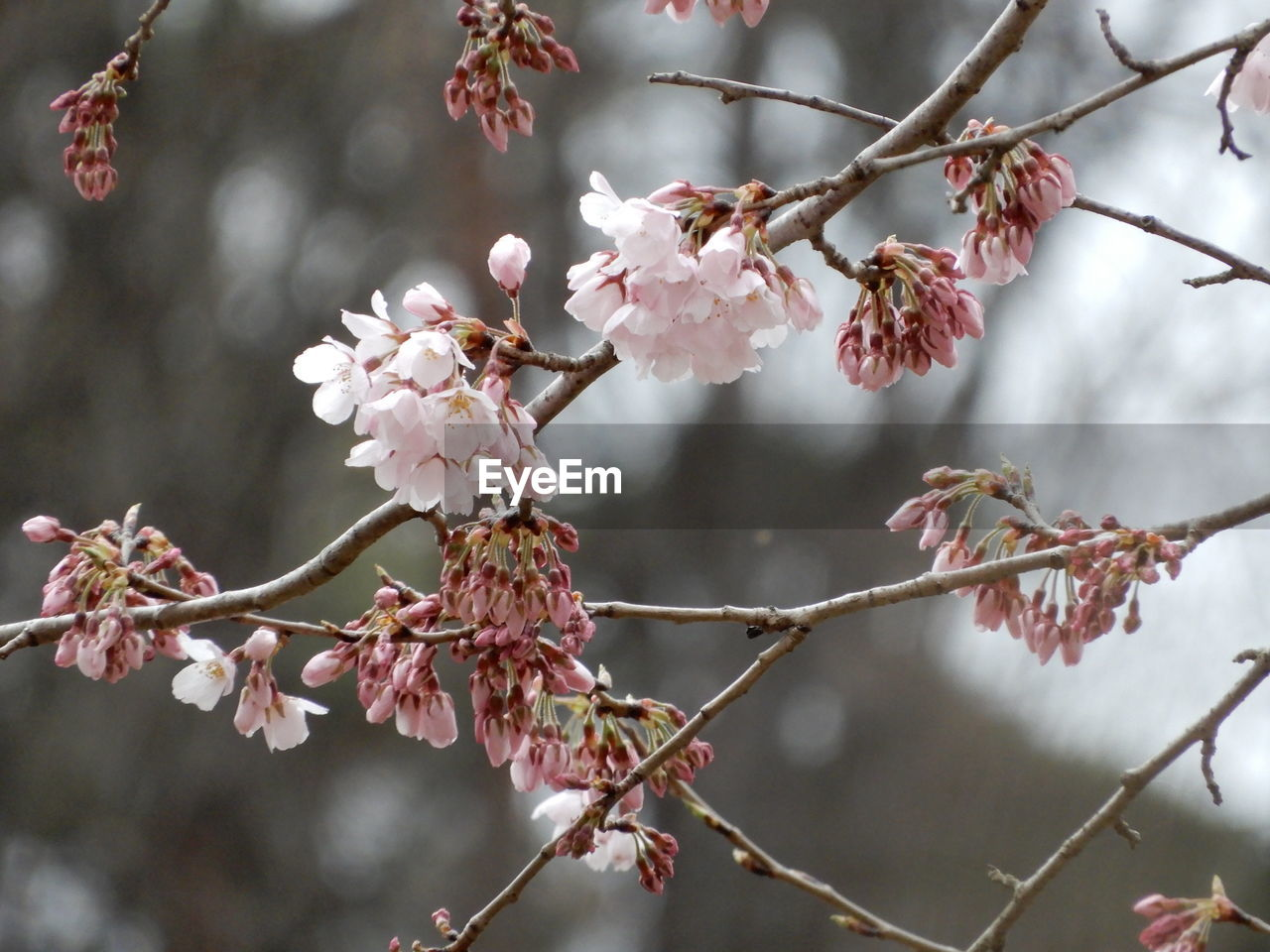 flowering plant, flower, plant, growth, beauty in nature, fragility, vulnerability, tree, pink color, blossom, freshness, branch, close-up, springtime, focus on foreground, twig, petal, no people, nature, day, cherry blossom, cherry tree, outdoors, flower head, plum blossom, pollen, spring