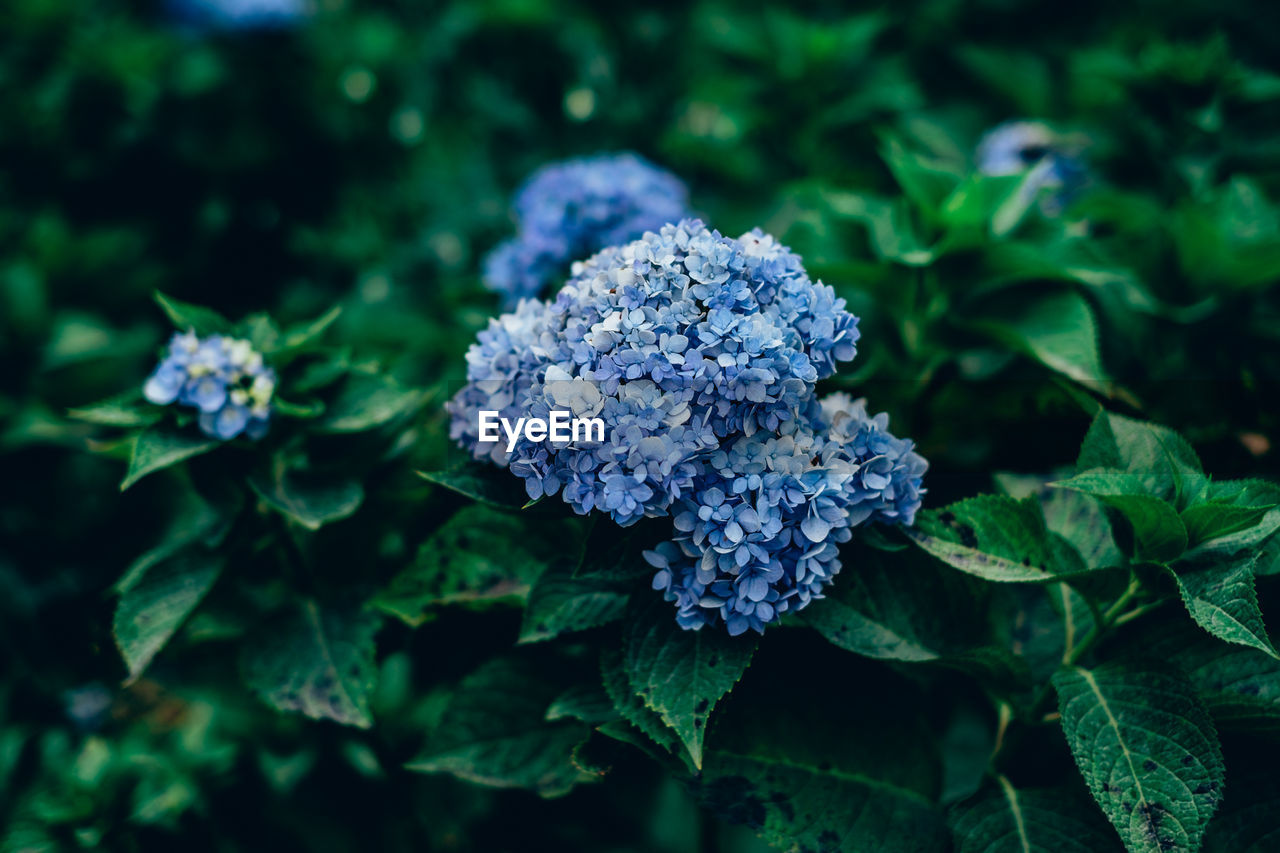 plant, growth, flower, flowering plant, beauty in nature, freshness, nature, fragility, vulnerability, day, leaf, green color, no people, plant part, close-up, blue, flower head, inflorescence, selective focus, petal, outdoors, purple