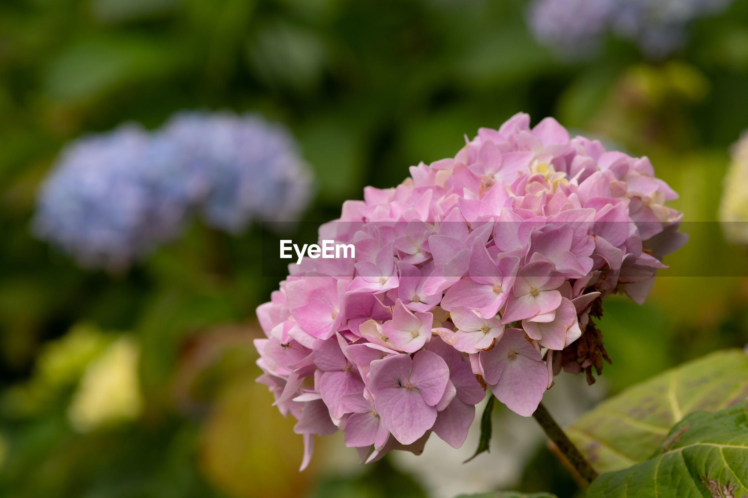 Close up of pink hydrangeas in bloom